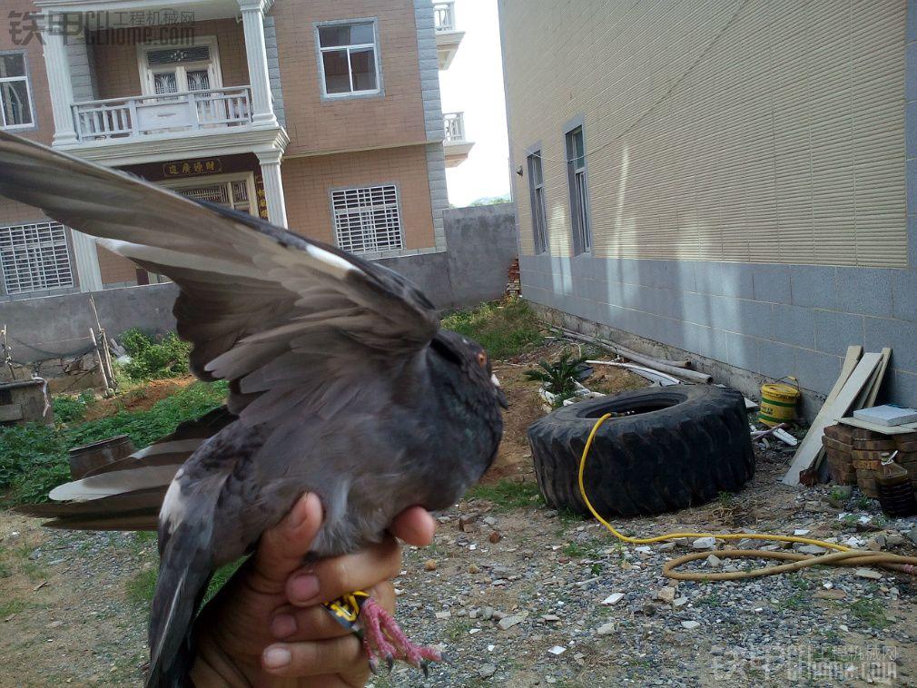 今天放飞了一只铁甲太平鸽