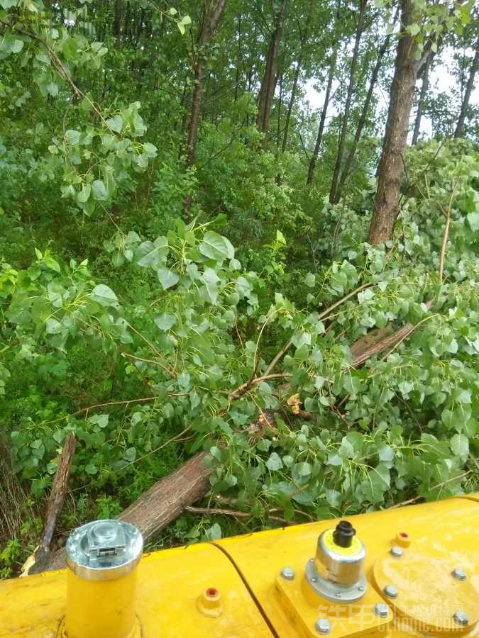 【真爽】昨天下大雨刮大风吹倒不少树