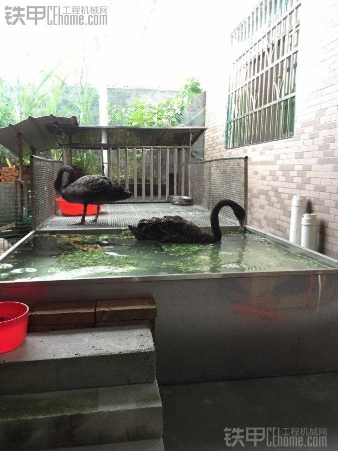 养了几个黑天鹅