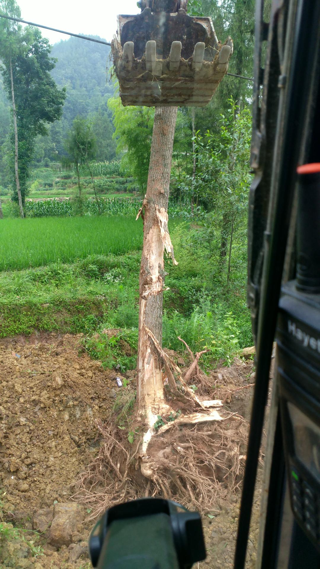 老板指挥不当导致挖机被树砸到驾驶室。