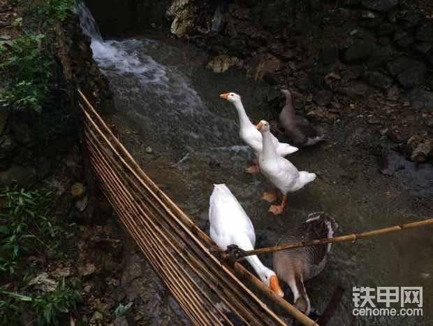 2姐夫贵州从江山泉鸭子