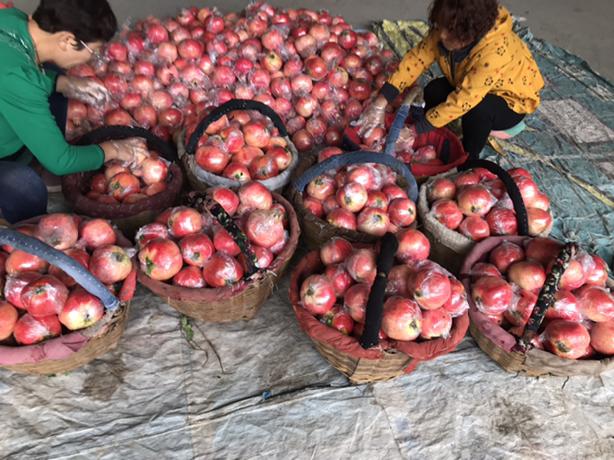 【国庆节第四天】趁着雨停突击摘点水果